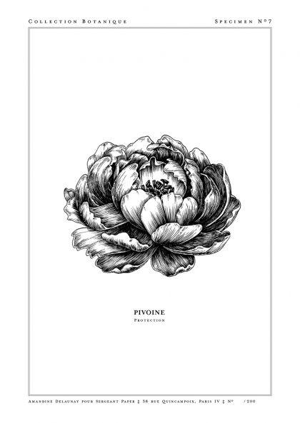 Amandine Delaunay - Pivoine