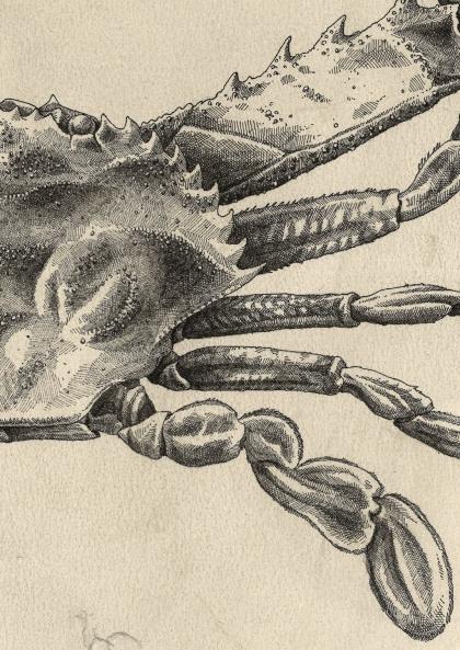 Steeven Salvat - Crabe de Carlafolis